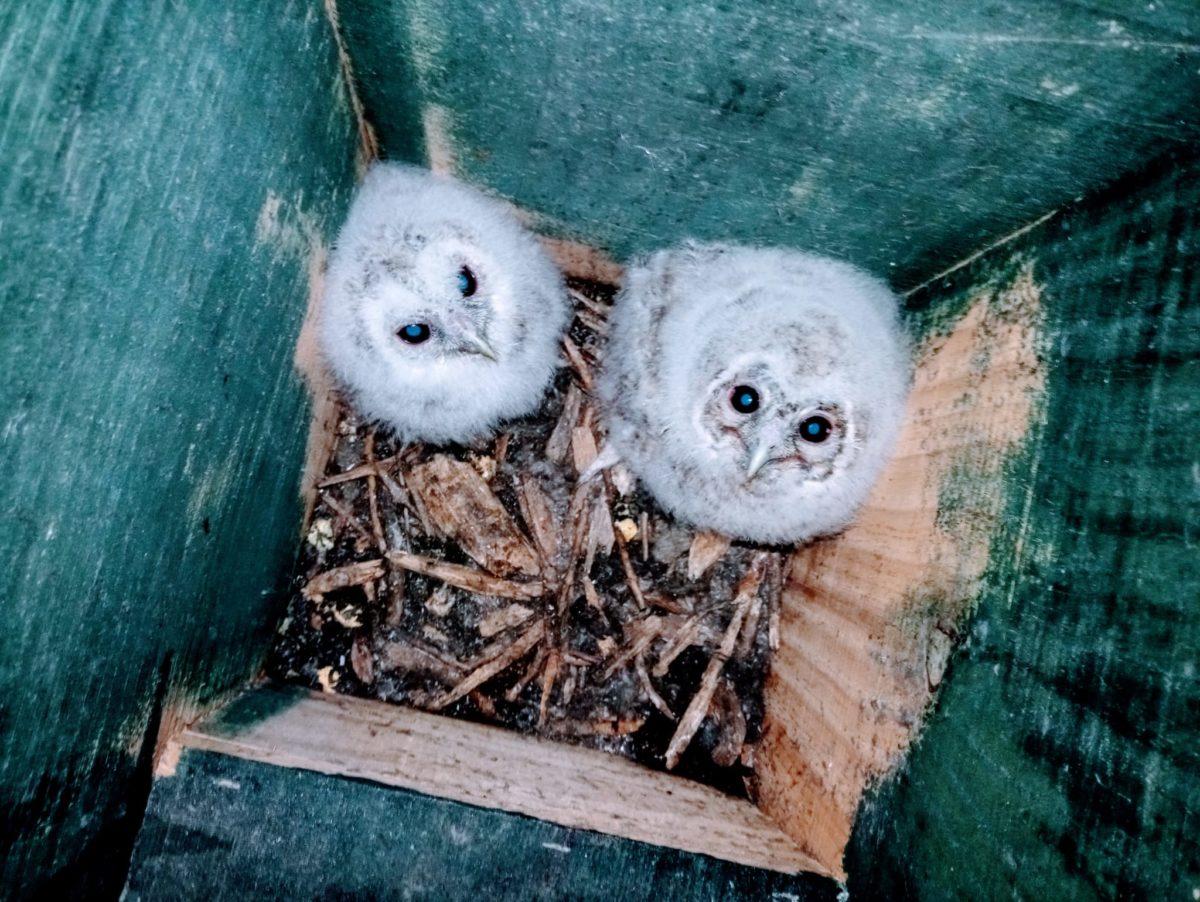 Han vuelto a criar los cárabos en una de las cajas-nido de Parkea Bizirik