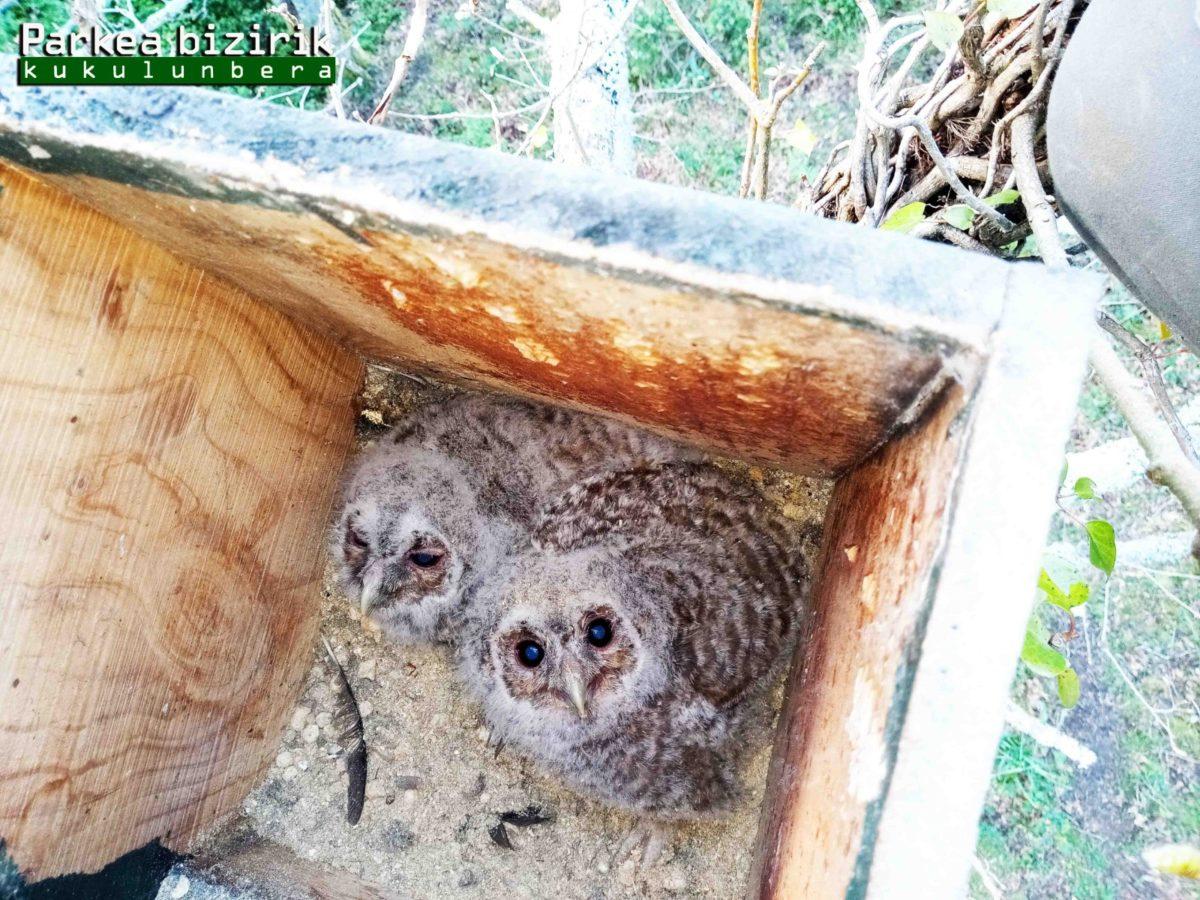 Los cárabos de Aiako Harria repiten y crían en la caja-nido de Parkea Bizirik